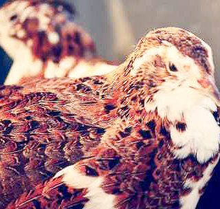 Coturnix Quail --Information about raising Coturnix Quail on an urban homestead