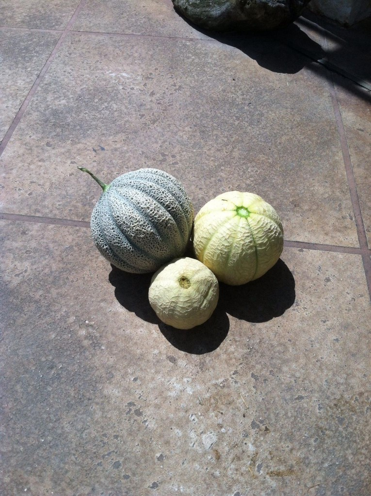 israel-melon-harvest