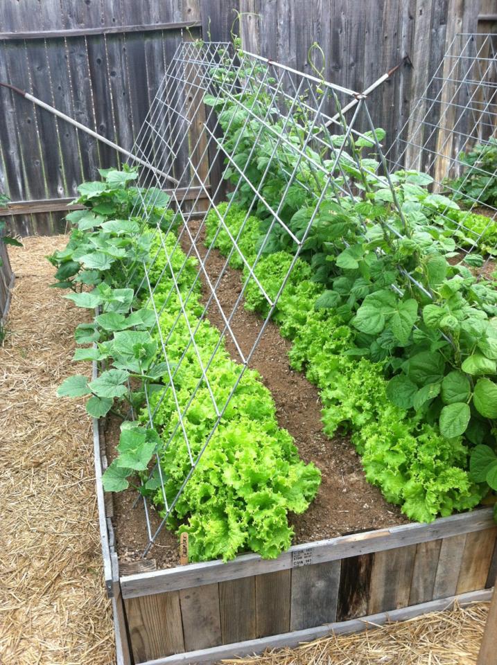 lettuce-bed-green-beans