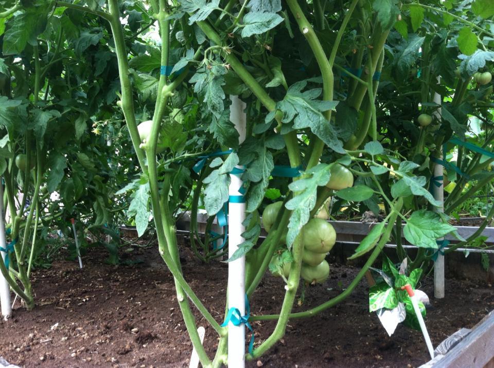 tomatoes-green
